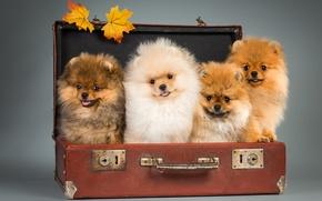 Picture puppies, suitcase, Spitz