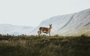 Picture grass, mountains, deer, wildlife, sunny