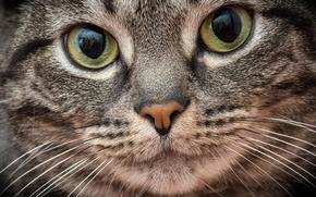 Picture cat, cat, look, macro