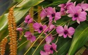 Picture orchids, Dendrobium Phalaenopsis, Dendrochilum Cobb