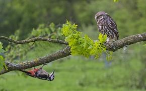Wallpaper tree, birds, branch, owl, woodpecker, the little owl