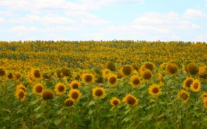 Picture field, the sky, Sunflowers