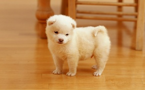 Picture face, dog, puppy, white, puppy, dog, cute