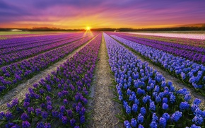 Wallpaper flowers, plantation, field, spring, sunset