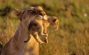 Wallpaper animals, lions, the cubs, care, wild cats, mom, kids, Leo
