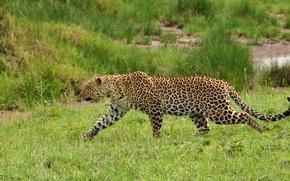 Picture grass, predator, leopard, wild cat, sneaks