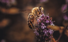Picture macro, flowers, bee, background, lavender