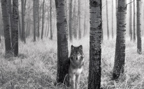 Picture grass, trees, wolf