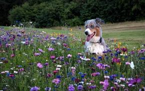 Picture field, flowers, each, Australian shepherd, Aussie