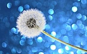 Picture flower, water, drops, light, Rosa, dandelion, Blik