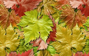 Picture autumn, leaves, grapes