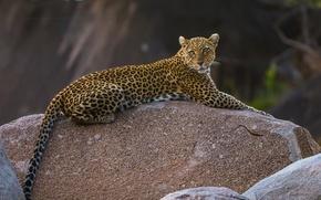 Picture stone, predator, leopard, grace