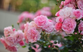 Picture macro, flowers, roses, petals, blur, pink, the bushes