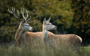 Picture forest, pair, deer, the edge