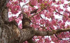 Picture Japan, spring, Sakura, flowering