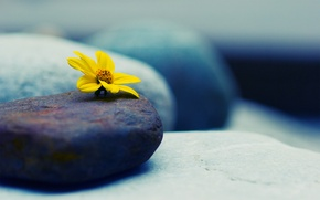 Wallpaper flower, yellow, stones, macro