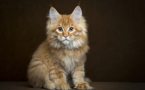 Picture look, background, fluffy, Cat, red, Maine Coon
