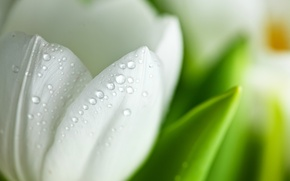 Picture white, flower, drops, macro, Tulip, petals