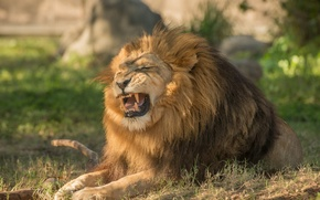 Picture predator, Leo, mane, the king of beasts, growl