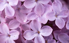 Picture flowers, macro, petals, lilac, nature, spring
