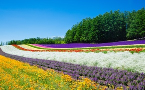 Picture field, summer, flowers, nature