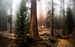 Picture forest, tree, sequoia, redwood