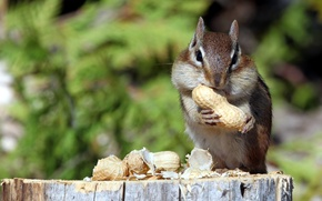 Wallpaper nature, Chipmunk, nuts