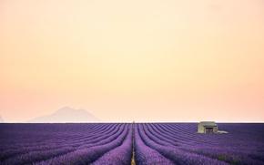 Picture field, nature, lavender