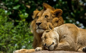 Picture nature, background, lions
