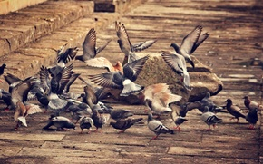 Picture bird, Pigeons, fly