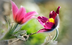 Picture flowers, background, blur, pink