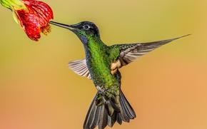Picture flower, background, bird, Hummingbird