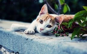 Picture cat, look, background, Koshak, Tomcat, foot