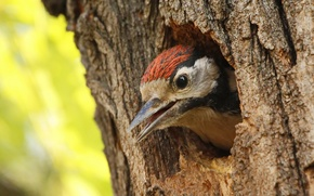Picture tree, bird, head, woodpecker, the hollow