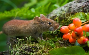 Picture Far East, vole, Wallpapers by Alexey Gnezdilov