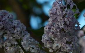 Picture flowers, branches, nature, spring, lilac