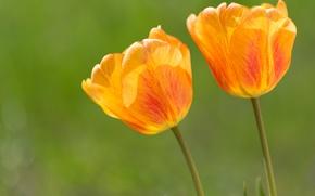 Wallpaper flowers, petals, tulips, orange
