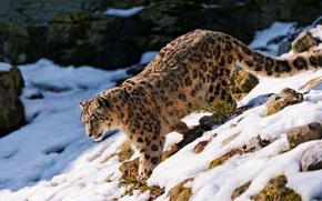 Picture snow, stones, slope, Snow leopard, IRBIS, looks, is