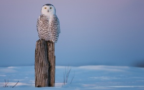 Picture cold, winter, snow, owl, bird, stump, stump