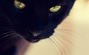 Picture cat, cat, face, black