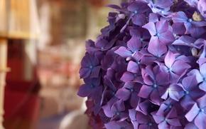 Wallpaper bokeh, macro, flowers, hydrangea, room