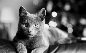 Picture cat, cat, look, black and white, lies, cat, Bartholomew Photography