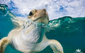 Picture sea, water, turtle