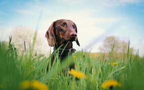 Picture grass, dog, flowers, dachshund