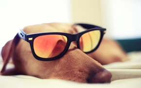 Picture GLASSES, DOG, GLASSES, SLEEPING