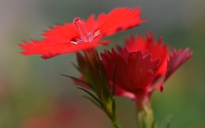 Picture flower, nature, petals, Chinese carnation