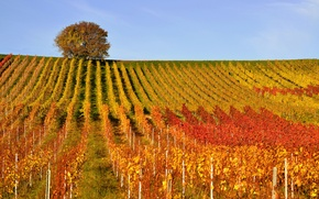 Wallpaper autumn, tree, hills, vineyard