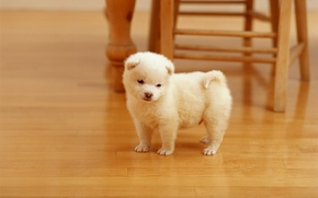 Picture dogs, white, wool, fluffy, small, chair, puppy, beige, pet