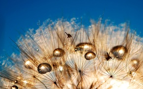 Picture the sky, Rosa, dandelion, drop, blade of grass