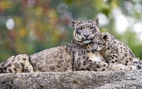 Picture feelings, predators, IRBIS, snow leopard, cub, mother